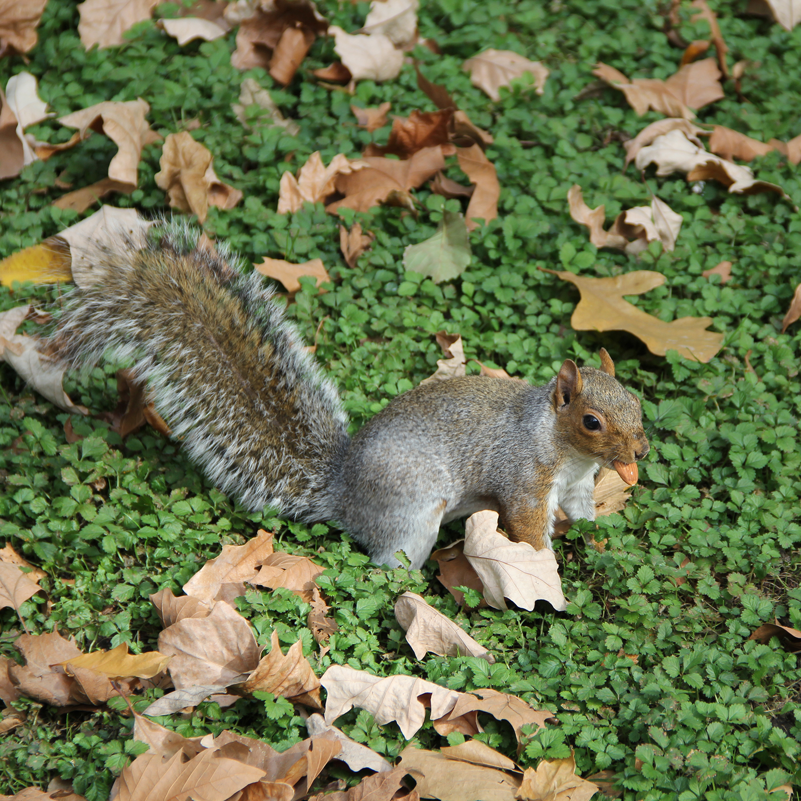 Squirrel - Madison Square Park